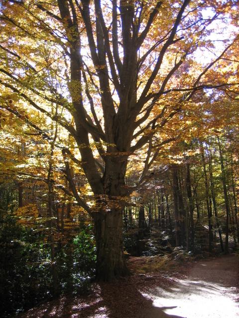 Albero Montseny