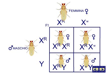 Caratteri genetici legati al cromosoma X