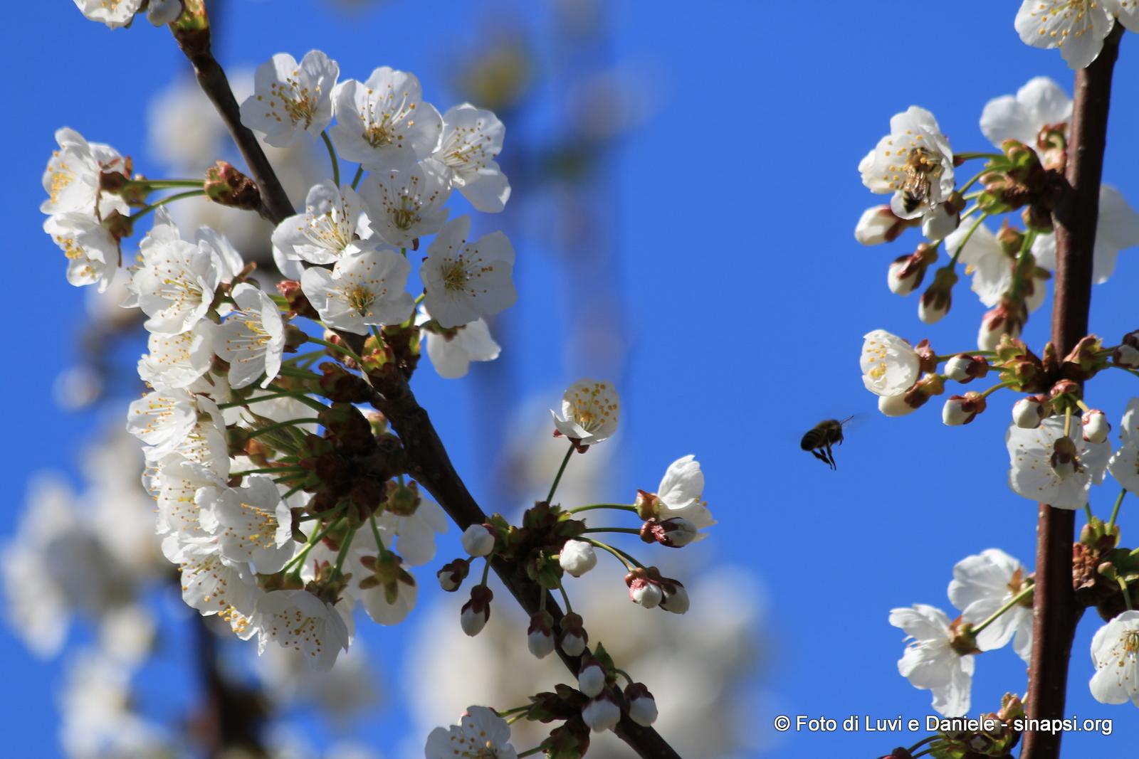 fiori di ciliegio con ape in volo